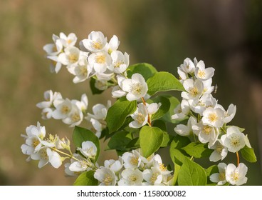 Beautiful blossoming branch of jasmine in garden