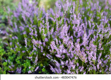 Beautiful blossoming cool purple scotch heather (Calluna vulgaris) bush background with a shallow depth of field