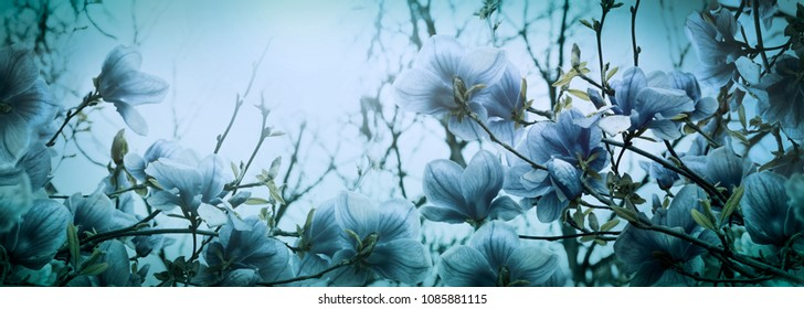 Beautiful blossoming magnolia flowers in sun dawn back lit light, shallow depth. Soft dark blue vintage toned. Greeting card template. Nature panorama background. Copy space banner.