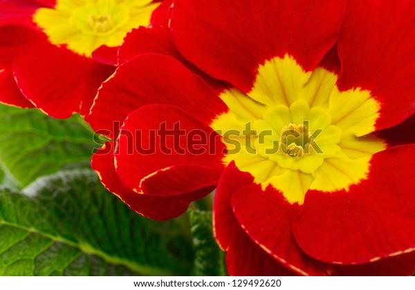 Beautiful blossoming red primula, closeup