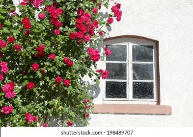 beautiful blossoming rose bush near window on wall