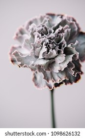 Beautiful blossoming single Black Molly grey carnation flower on the grey background, close up view