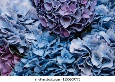 Beautiful blossoming tender blue and purple hydrangea flowers texture, close up view