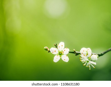 Beautiful Blossoming Tree With Copy Space And Shallow Focus