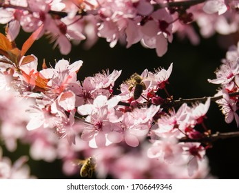Beautiful blossoming tree in springtime, spring background - Poland