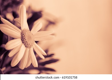 beautiful blossoming white chrysanthemum flower sepia tone