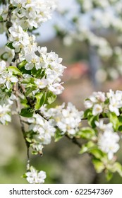 The beautiful blossoms of an apple tree