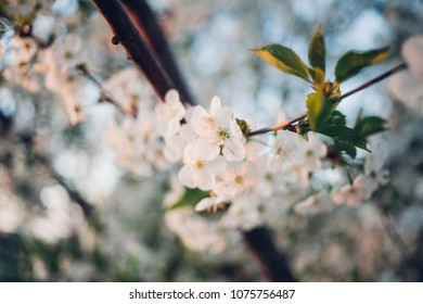 Beautiful  blossoms cherry in spring time over blue sky