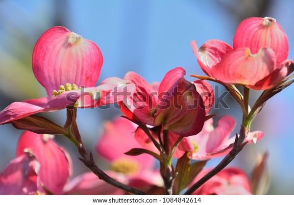 Beautiful blossoms of Flowering dogwood
