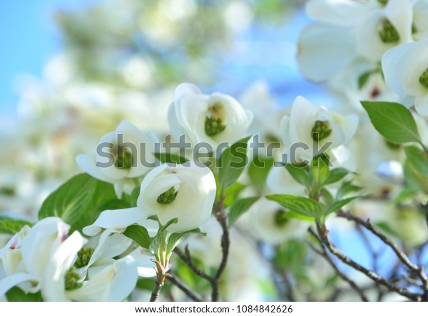 Beautiful blossoms of Flowering dogwood