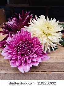 Beautiful blossoms of 'Lucky Number', 'Vancouver' and 'My Love' Dahlia flowers on wooden background, close up