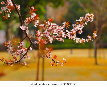 The beautiful blossoms of the plum trees in spring
