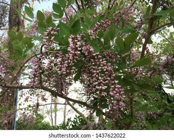 The beautiful  blossoms rosewood or black wood flower.