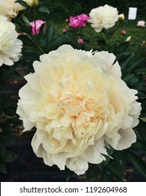 Beautiful blossoms of 'Summer Glow' Peony flowers blooming in the garden