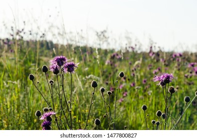 Beautiful blosson purple Scabiosa flowers among green grass at the island Oland in Sweden