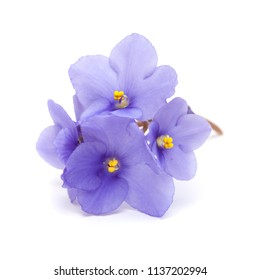 beautiful blue african violet isolated on white background