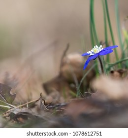 Beautiful Blue Anemone, one of the first spring season signs