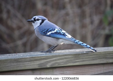 beautiful blue back and white bird perched on a wooden porch rail in autumn