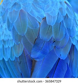 Beautiful blue background taken from blue and gold macaw bird's feathers, exotic texture
