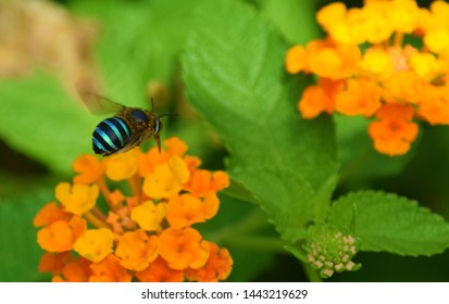 Beautiful Blue Banded Bee with flowers