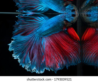 Beautiful blue Betta fish are coming up and breathing. Siamese fighting fish, Betta splendens, Halfmoon betta of Thailand on black background.