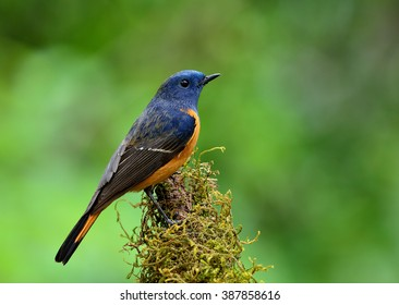 Beautiful blue bird, the Blue-fronted Redstart (Phoenicurus frontalis) standing on the branch showing its really sharp in featehrs  on blur green  background