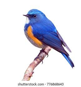 Beautiful  blue bird, male Orange-flanked Bush Robin (Tarsiger cyanurus) on a branch isolated on white backround.