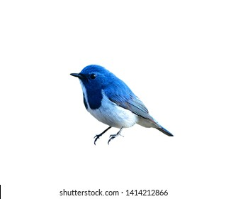 Beautiful Blue Bird, Ultramarine Flycatcher, on white background