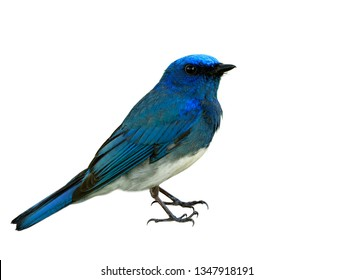 Beautiful blue bird with white belly showing its details from head to body wings tail legs and feet isolated on white background, Zappey's flycatcher (Cyanoptila cumatilis)