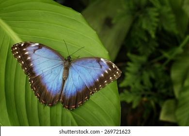 Beautiful blue butterfly Blue Morpho, Morpho peleides, sitting on green leaves, Costa Rica.