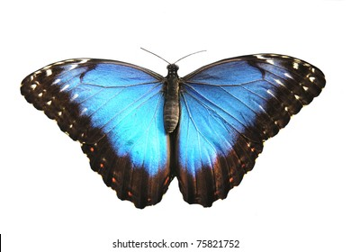 Beautiful Blue butterfly, morpho peleides, isolated on white background