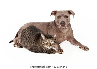 A beautiful blue coated Pit Bull dog and a pretty gray tabby cat laying down together and looking at the camera