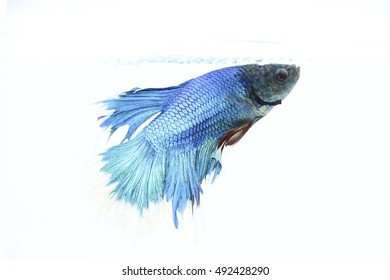 Beautiful Blue Color Half Moon Betta Fish or Siamese fighting fish Isolate Wallpaper on White Background