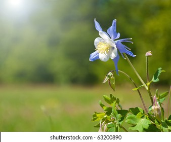 Beautiful blue Columbine in sun against green background