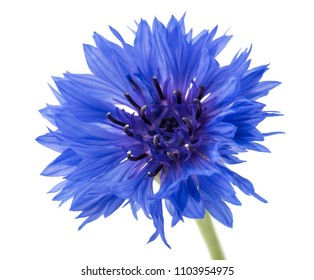 Beautiful blue cornflower isolated on white background.  Selective focus