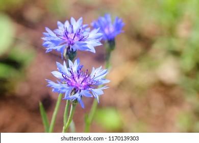 Beautiful blue cornflowers