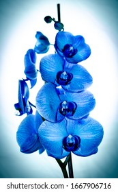 Beautiful and blue delicate orchid flowers Phalaenopsis isolated, detail and close up photo.