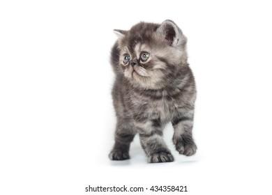 beautiful blue exotic kitten on white background