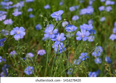 Beautiful blue flax flowers. Flax blossoms. Selective focus, close up. Agriculture, flax cultivation. Field of many flowering plants (linum usitatissimum). Linum blooms