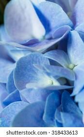 Beautiful blue flower Hydrangea