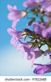 Beautiful blue flowers campanula on a background of the blue sky