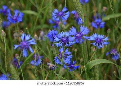 Beautiful blue flowers of cornflowers in a summer field