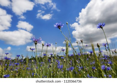 Beautiful blue flowers of cornflowers in a summer field against the sky and clouds