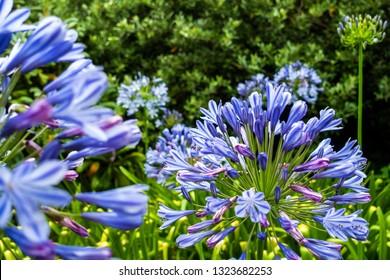 Beautiful blue flowers at Kirstenbosch Botanical Garden in Cape Town