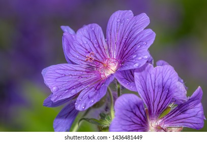 Beautiful blue flowers spreading pollen