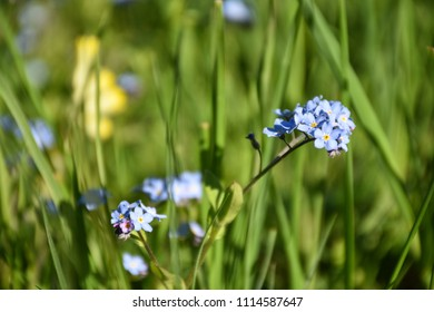 Beautiful blue Forget me not flowers in green grass