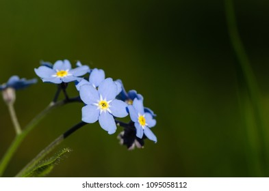 Beautiful blue forget-me-nots closeup by a natural green background