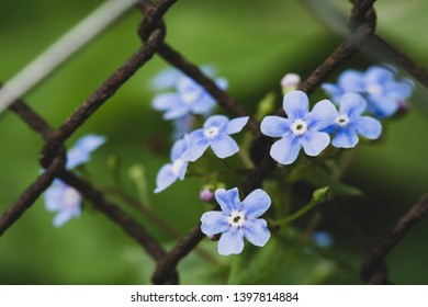Beautiful, blue, fragrant flowers of Brunnera macrophylla or nezabudnik and old, rusty fence chain-link, on a blurred background of greenery. Macro. Close-up.