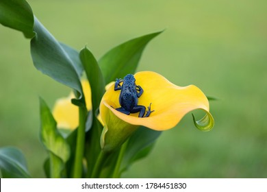 Beautiful blue frog on yellow flower