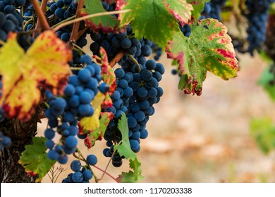 Beautiful blue grapes for red wine